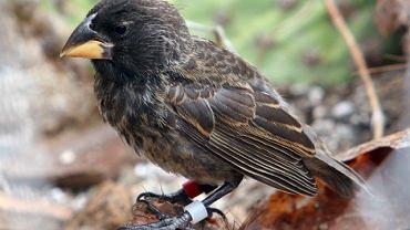 Nowy gatunek zięby Darwina - 'Wielki Ptak'