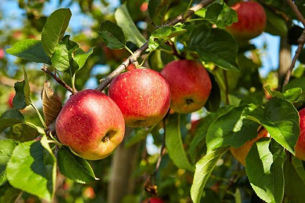 Z owoców najczęściej wybieramy jabłka - prawie 3/4 badanych stawia je na pierwszym miejscu