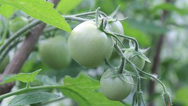 Kiedy siać pomidory? Kwiecień to ostatni dzwonek na wysiew pomiodrów