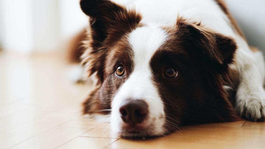 Czego nie podawać psu do jedzenia? Jakie są zasady pierwszej pomocy dla psa przy podejrzeniu zatrucia?