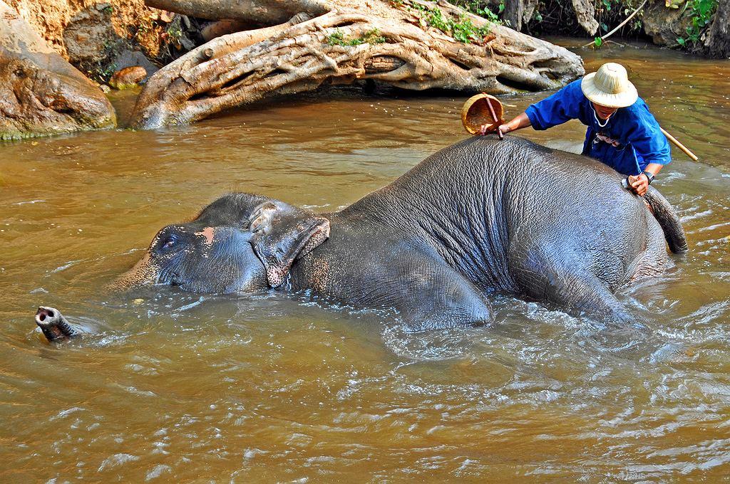 Maltretowanie słoni dla zysku to niestety częsta praktyka w Tajlandii. Ale są też tacy, którzy je ratują
