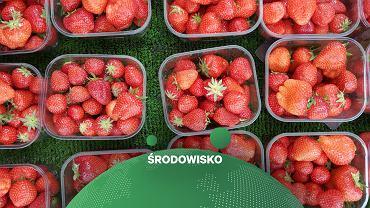 Włochy. Wyjątkowo ciepła zima przyspieszyła sezon na truskawki i inne owoce  (zdjęcie ilustracyjne)