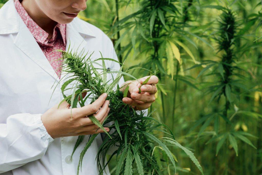 Konopie siewne wykorzystuje się m.in. do produkcji żywności, kosmetyków, suplementów diety i leków