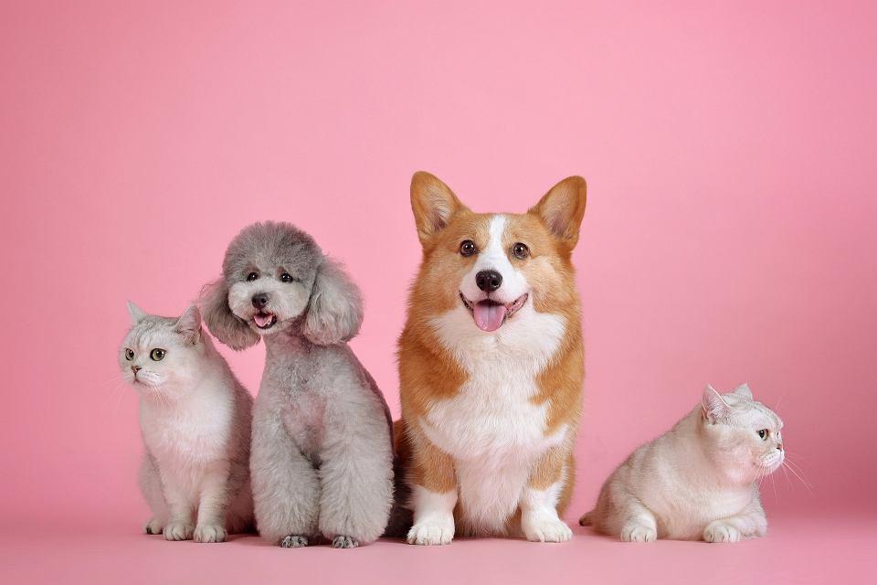 Czy psy i koty mogą się zakazić koronawirusem?