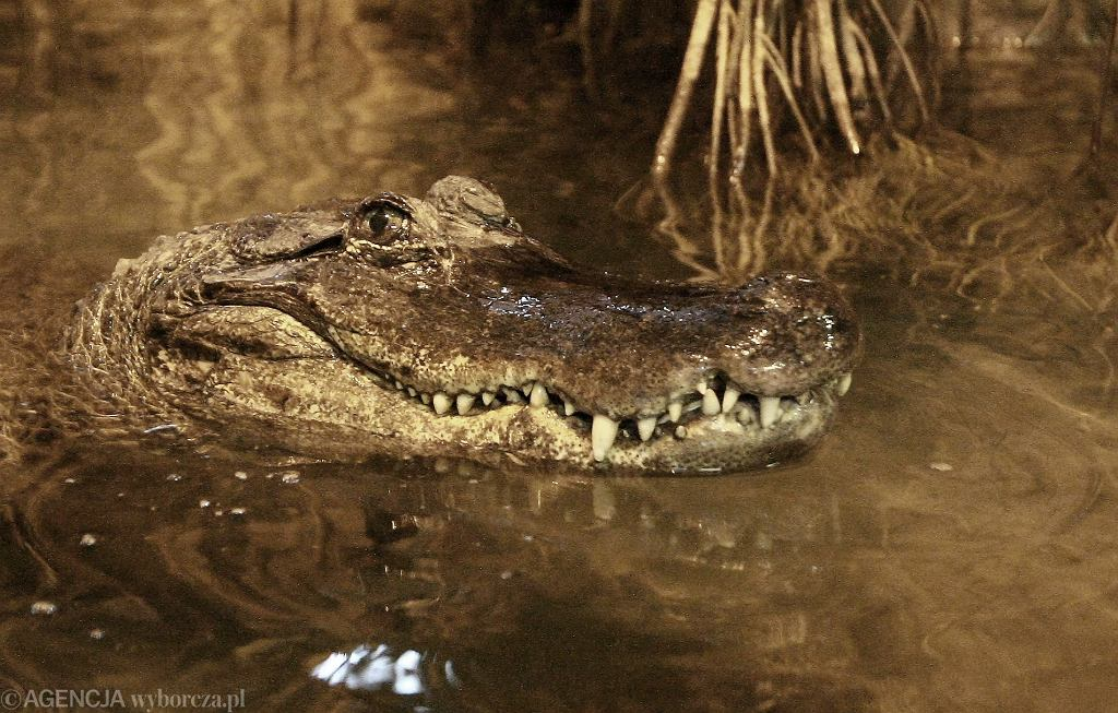 Samica aligatora o imieniu Marta z płockiego zoo