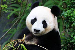 Uwielbiacie pandy? 16 marca to ich dzień. Dobra wiadomość: oficjalnie już nie są zagrożone wyginięciem