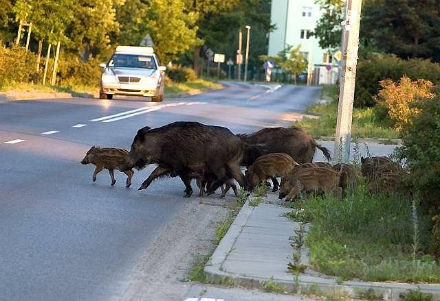 dziki w Warszawie
