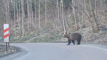 Jeden z niedźwiedzi uchwycony przez leśniczego Kazimierza Nóżkę