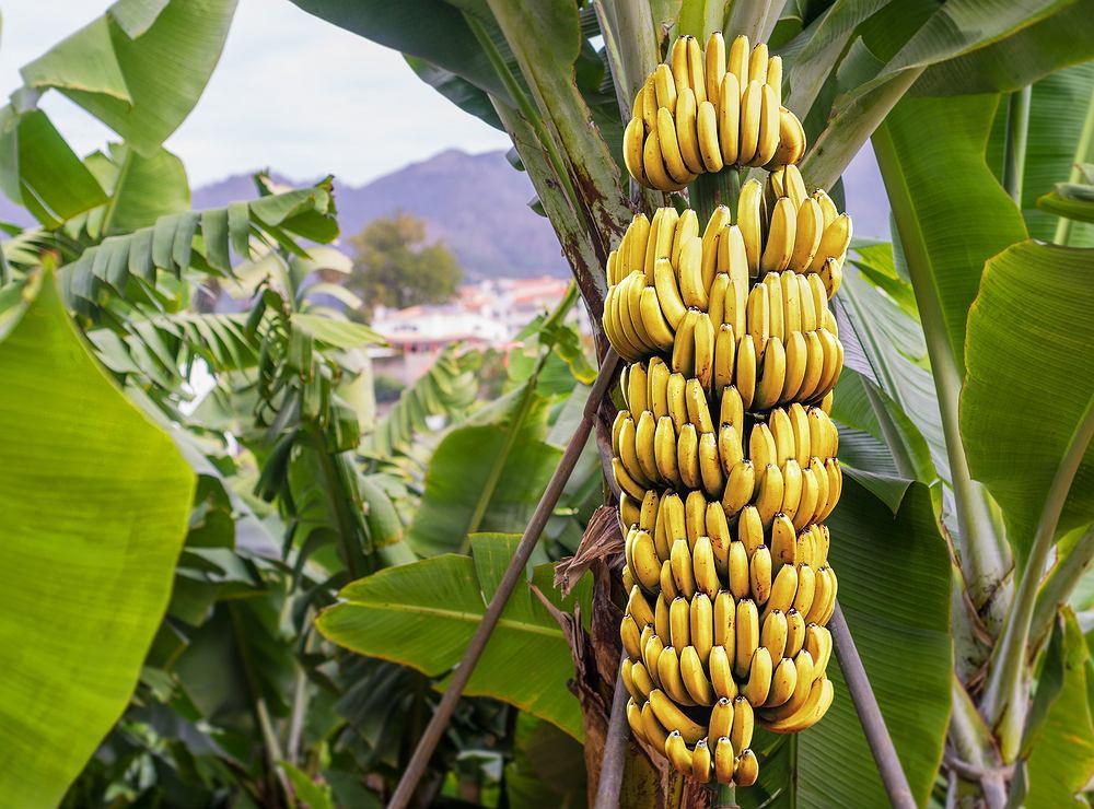 Plantacje bananów zostały zaatakowane przez grzyba Fusarium.