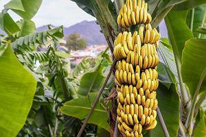 Banany mogą wkrótce wyginąć. Kolumbia potwierdza, że potężny grzyb uderzył w plantację