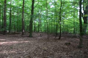 Pomnikowy buk i inne drzewa przeznaczone do wycinki