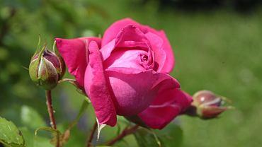 Róża ''Maritim'' syn.: Tanmitiram , grupa róże pnące w kieleckim rozarium