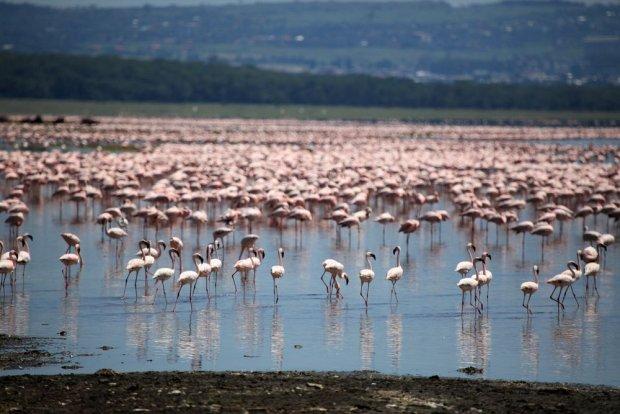 Flamingi, jezioro Nakuru/ Fot. Shutterstock