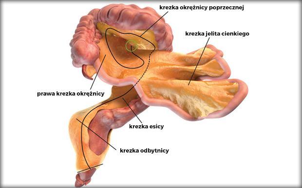 Krezka to jeden, osobny narząd (na ilustracji poszczególne obszary krezki)