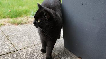 Wiele osób boi się, że gdy czarny kot przebiegnie drogę, to przyniesie pecha