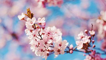 Pierwszy dzień wiosny. Kiedy wypada wiosna astronomiczna i kalendarzowa? (zdjęcie ilustracyjne)