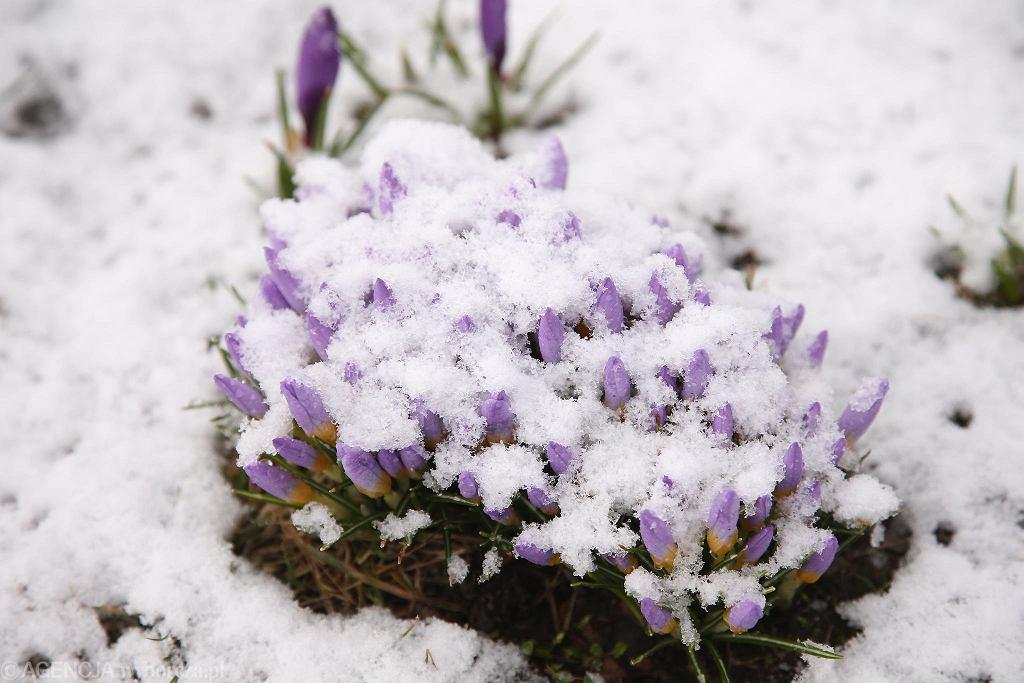 Ostatni dzień zimy na Jasnych Błoniach w Szczecinie. Krokusy w śniegu