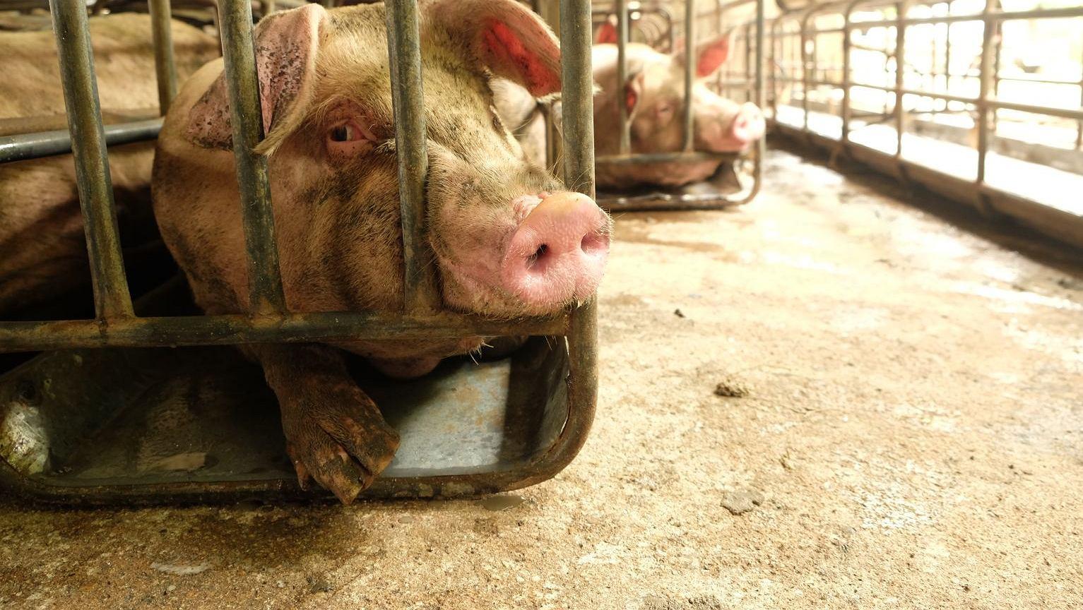 70 proc. produkowanych antybiotyków jest przeznaczone dla zwierząt hodowlanych