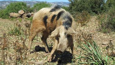 Samiec dzikiej świni z Sardynii