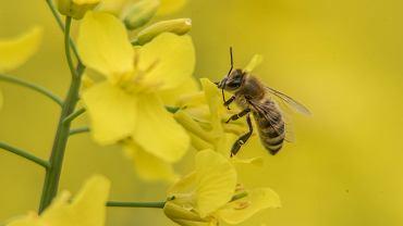 Pszczoły kosmonautki z Polski. Na AGH sprawdzają, czy można je wysłać na Marsa