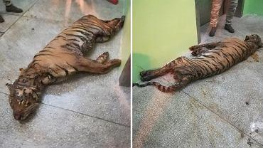 Tygrysy uwięzione na granicy. Jeden z nich padł