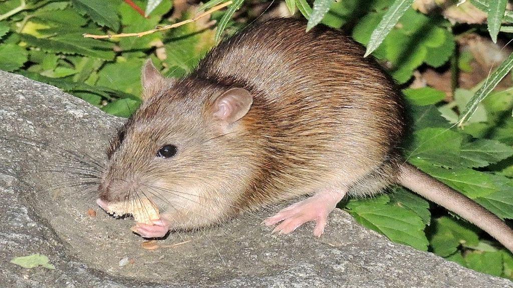 Bielańska Wystawa Szczurów