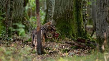Wilczyca w Puszczy Białowieskiej (z nogą złowionego jelenia w pysku)