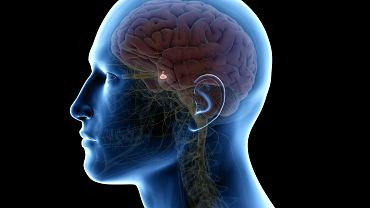 Gruczoły dokrewne są odpowiedzialne za wytwarzanie i wydzielanie hormonów do krwi