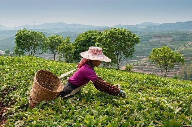 Proces zbierania herbaty