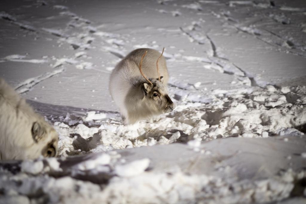 Renifery na Svalbard zagrożone przez zmiany klimatu