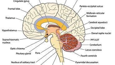 Centralnym organem układu nerwowego jest mózg, który wraz z rdzeniem kręgowym tworzy tzw. ośrodkowy układ nerwowy.
