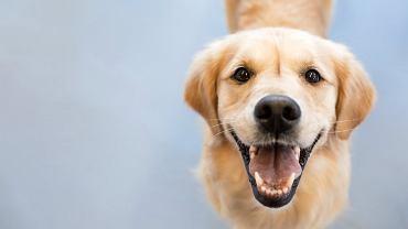 Być może psy tak długo ewoluowały z człowiekiem, że nauczyły się naśladować to, co my nazywamy śmiechem