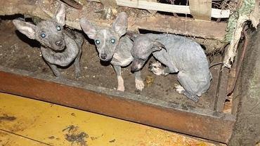 Blisko 40 skrajnie wyczerpanych, wychudzonych i zaniedbanych psów znaleziono na posesji w pow. garwolińskim