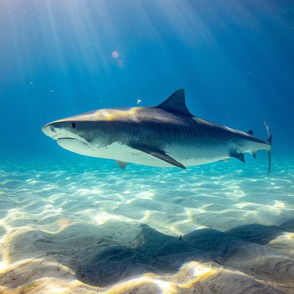 Australia. W 2020 roku najwięcej ofiar śmiertelnych rekinów od ponad 80 lat (zdjęcie ilustracyjne)