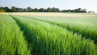 Zwiększenie wydajnosci fotosyntezy rozwiązałoby problemy żywnościowe biedniejszych krajów