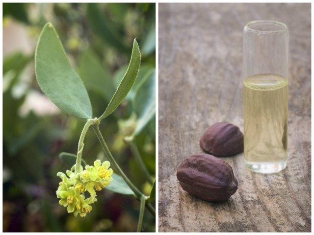 Olej jojoba, w zależności od sposobu pozyskiwania różni się przede wszystkim barwą. Ten tłoczony na zimno, nierafinowany, będzie miał kolor bursztynowy, natomiast rafinowany - kolor jasnozłoty.