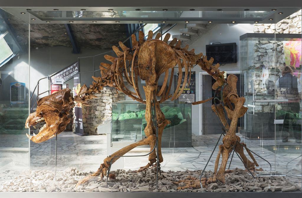 Niedźwiedź jaskiniowy (Ursus spelaeus) - szkielet z Jaskini Niedźwiedziej w Kletnie (Dolny Śląsk)