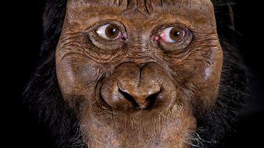 Tak wyglądał australopitek sprzed 3,8 mln lat, którego czaszkę naukowcy odkryli w Etiopii