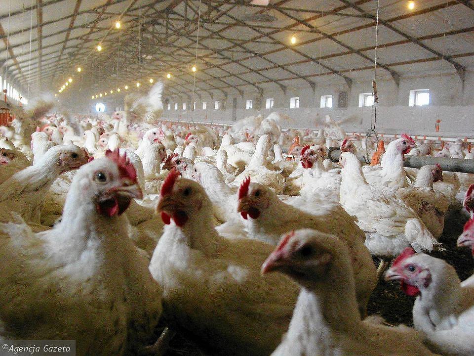 Hodowla kurczaków - zdjęcie ilustracyjne