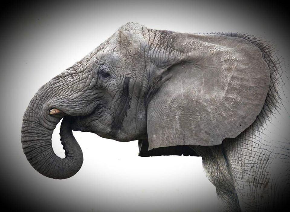 Słonica Erna