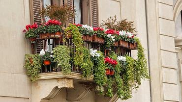 Rośliny na balkon. Co posadzić w pojemnikach na balkonie? Zdjęcie ilustracyjne