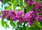 Lilak, parch i podkład. Sprawdź, czy wiesz o czym mówią ogrodnicy - rozwiąż test językowy