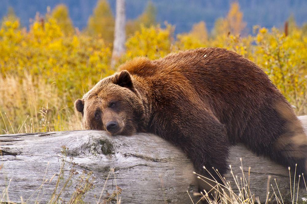 Niedźwiedzie grizzli