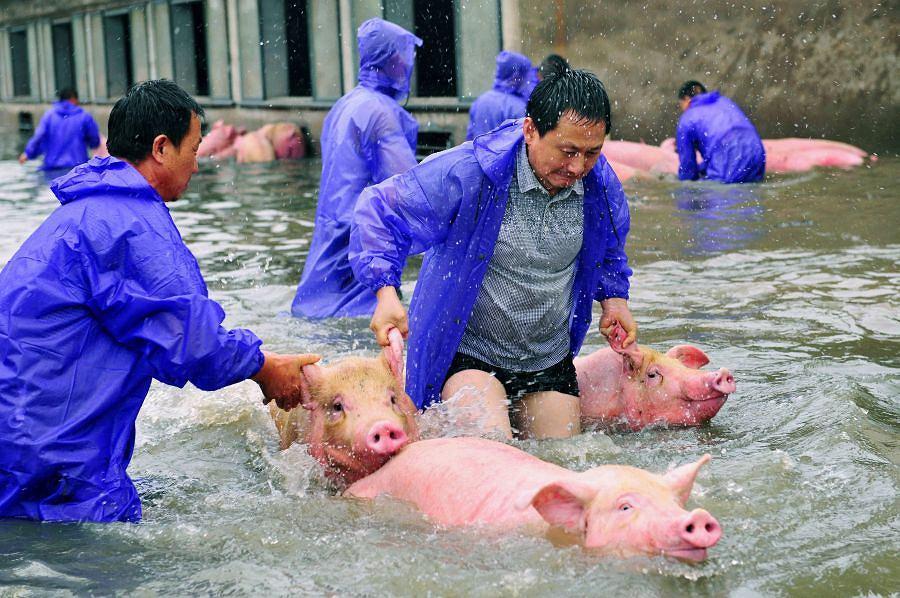 Dramatyczna akcja ratowania świnek