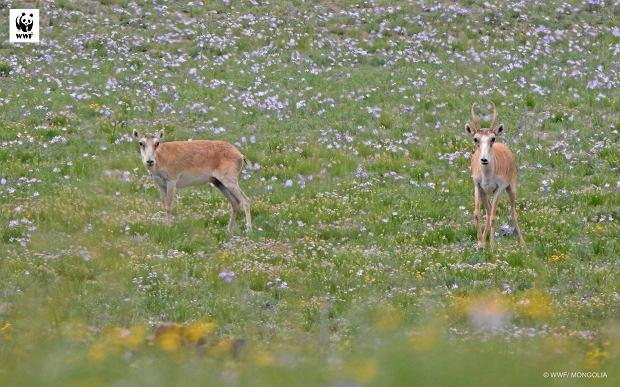 Suhaki to sensacja świata zwierząt. A jednak światowa opinia publiczna dowiedziała się o ich istnieniu dopiero w 2016 roku (fot: WWF Mongolia)
