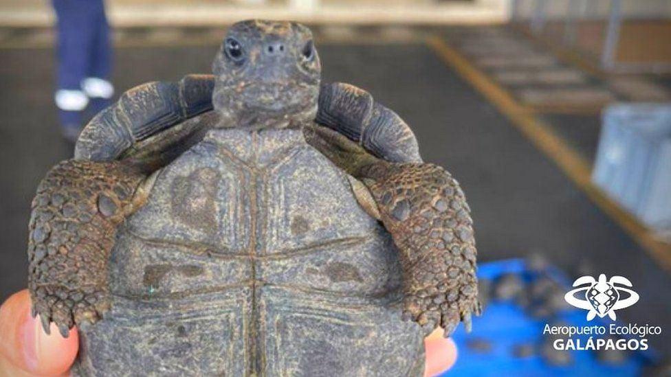 Jeden z uratowanych żółwi