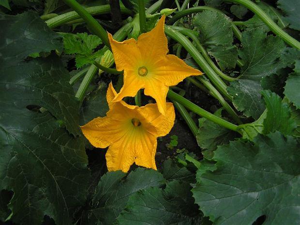 Kwiaty cukinii są jadalne, a w dodatku bardzo smaczne