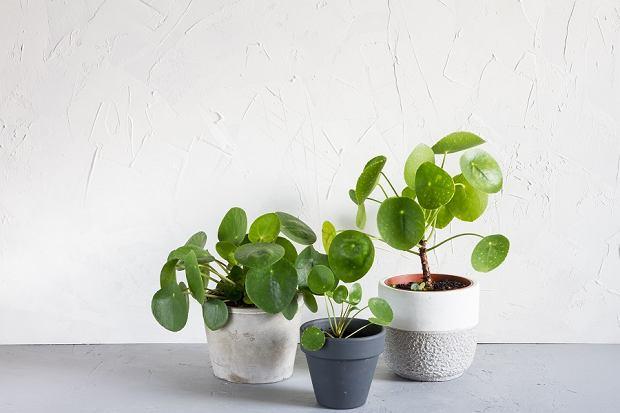Pilea - roślina, która ma liście wyglądające jak pieniążki! Wiemy, jak o nią dbać