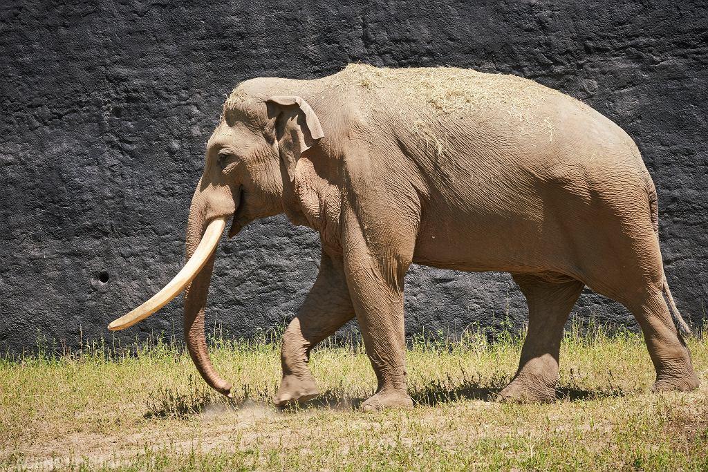Słoń Aleksander