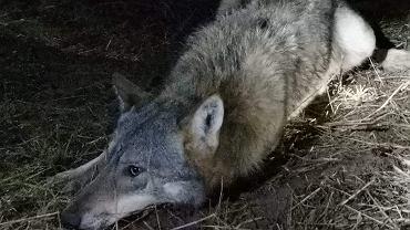 Wolf Cierzpiętek è stato preso in trappola.  I residenti hanno aiutato